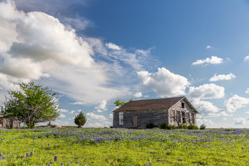 texas bluebonnet field and abandon barn in Ennis, Texas