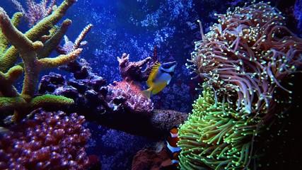Foxface fish in coral reef aquarium tank