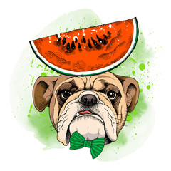 Bulldog portrait in a tie and with Watermelon. Vector illustration.