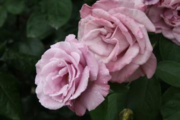 Розы у Нотр-дам де Пари