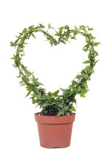 Ivy plant with shape of a heart with white isolated background