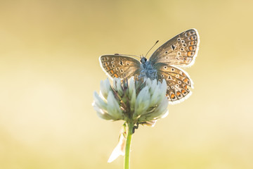 Common Blue front view backlit