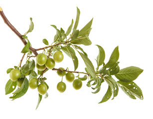 plum-tree branch with green fruits and leaves. isolated on white