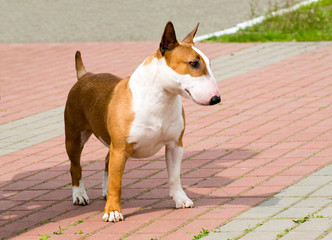 Bull Terrier looks.  Red and white Bull Terrier is on the grass.