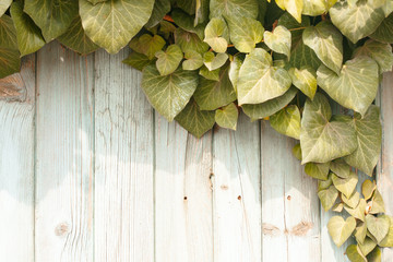 Green creeper on wooden fence
