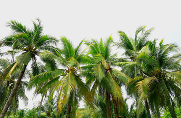 coconut trees with sunlight