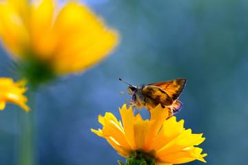 Male Zabulon Skipper on Coreopsis, aka Tickseed, yellow wildflower