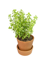 basil pot, isolated , herb