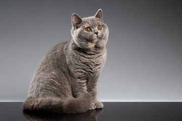 Furry Gray British Cat Sitting and Curious Looks on Dark Background, Side view Wall mural