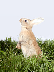 Lovely pale redhead rabbit standing on green grass