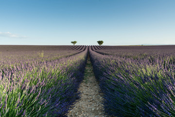 twee bomen aan de horizon van een lavendelveld