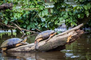 Tortuguero, Costa Rica, wild turtles.