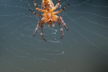 Orb-weaver spider on the web macro