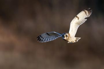 Short-eared owl flying