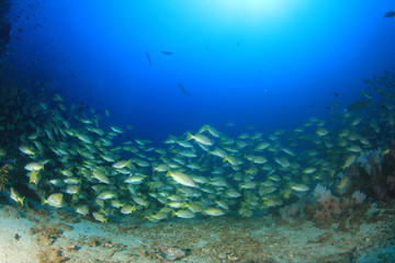 School Bigeye Snapper fish on coral reef in ocean
