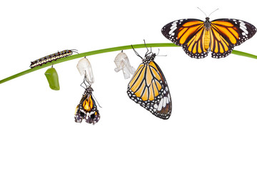 Isolated transformation of common tiger butterfly emerging from