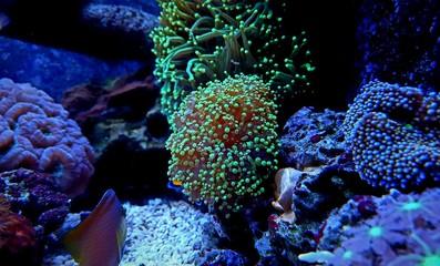 Green Euphyllia Frogspawn Coral