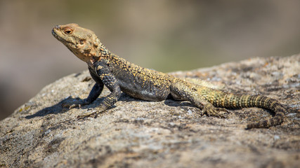 portrait of brown lizard on the rock, Georgia