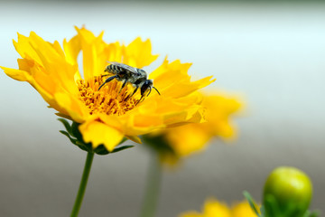 Plasterer Bee on Coreopsis, aka Tickseed, in Santa Fe, New Mexico