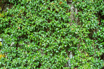 Chinese privet (Ligustrum sinese) with green leaves