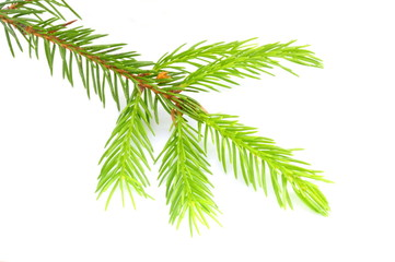 New foliage of a spruce tree isolated on white background