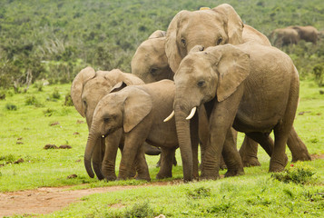 African elephant family on a pathway