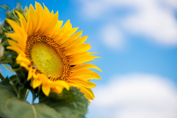 sunflowers against a blue sky and white clouds