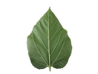Mulberry leaf.