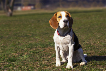 dog breed beagle