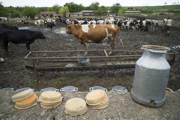 Holstein cows in farm
