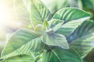 The leaves of the lemon mint