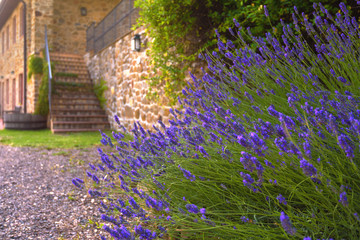 Beautiful lavender with peasant house in the background.