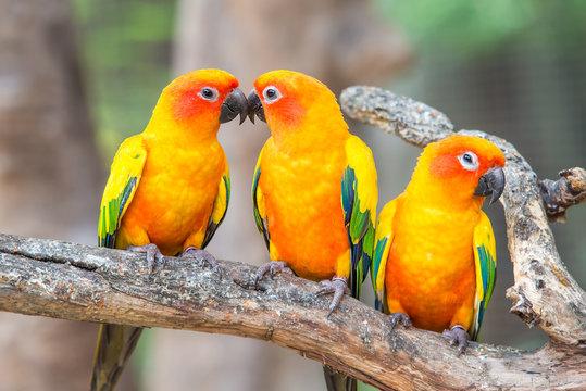Lovely sun conure parrot birds on the perch.