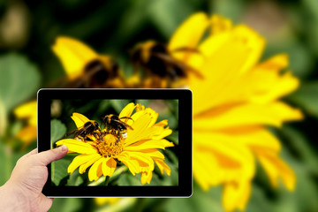 Tablet photography concept. Taking pictures on a tablet. Two bees collects pollen from yellow flowers perennial aster in the garden