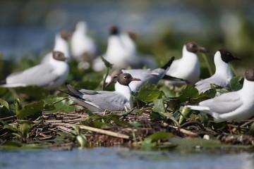Fotoväggar - Black-headed gull, Larus ridibundus