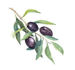 Olive branch - black olives vegetables and leaves. Watercolor