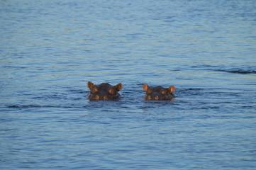 Hippos looking out of River Zambezi