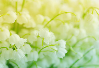 Lilies of the valley. Flowers of a lily of the valley,  closeup. Gentle spring background