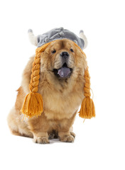 Wall Mural - chow-chow dog with viking hat