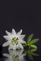Exotic beautiful white carpel flower of Passiflora Foetida on black background