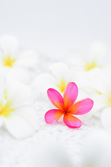 Pink Frangipani amongst all white flowers.