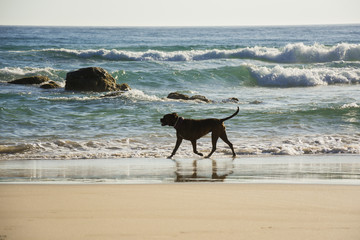 Boxer dog walking freely on a beach