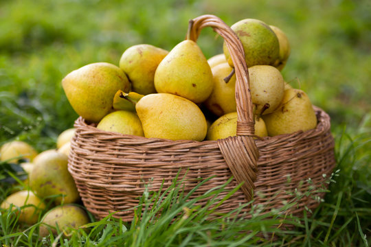 pears  on   green grass.