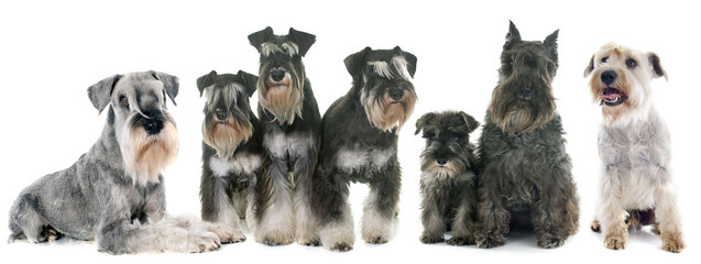 Wall Mural - group of Schnauzer