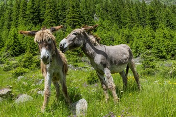 Donkeys talking to each other.Couple communication.