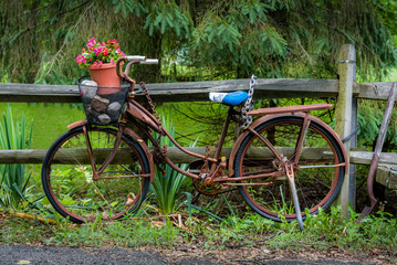 Rusty old bicycle leaning against a wooden fence with red begonias in the basket