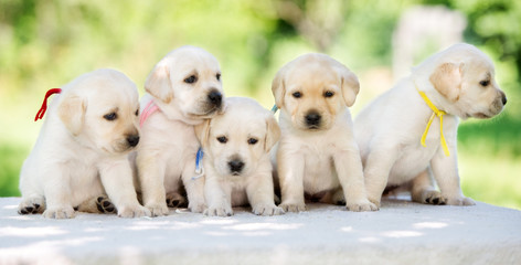 group of yellow labrador retriever puppies outdoors