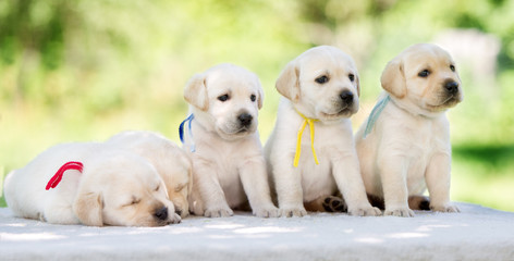 group of yellow labrador puppies outdoors