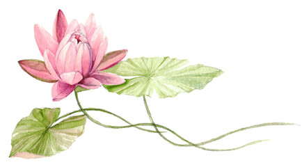 Water Lily or lotus flower on the water (Fuchsia). Hand drawn, watercolor botanical illustration.