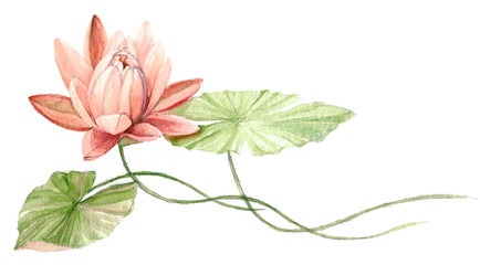 Water Lily or lotus flower on the water (Coral). Hand drawn, watercolor botanical illustration.